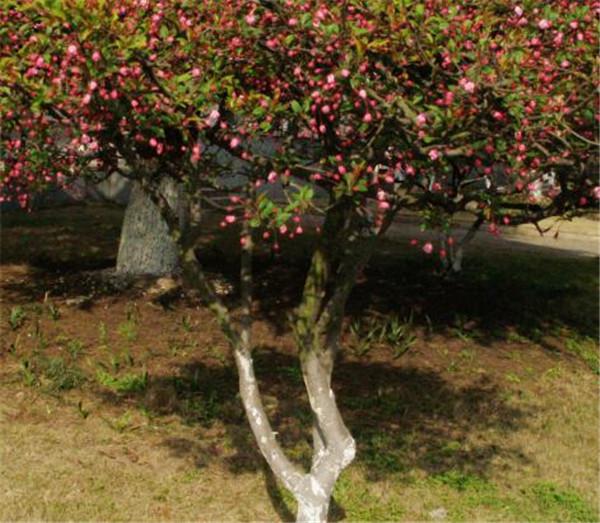 海棠树适合栽在庭院吗 海棠树种在庭院的什么位置好