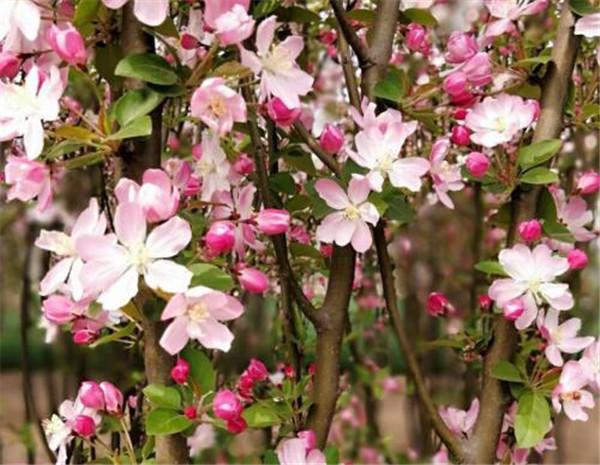 西府海棠几月移栽最好 西府海棠养护要点