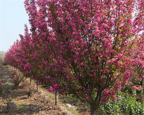 西府海棠什么时候开花 西府海棠的花语和寓意