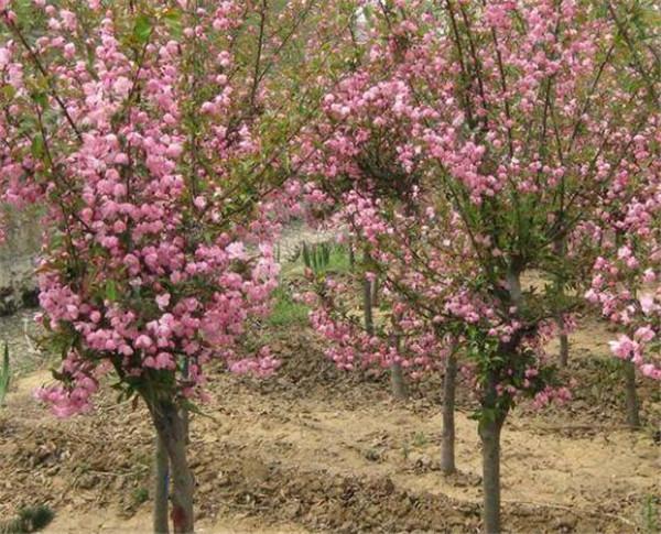 垂丝海棠的果子可以吃不 西府海棠与垂丝海棠的区别