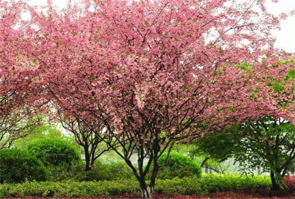 垂丝海棠什么时候开花 垂枝海棠和垂丝海棠区别