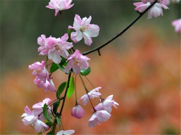 垂丝海棠的养殖方法和注意事项 垂丝海棠叶子发红是怎么回事
