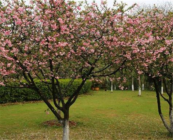 垂丝海棠盆景怎样修剪 垂丝海棠夏天能移栽吗