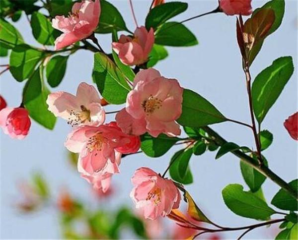 垂丝海棠老桩怎么养 四季垂丝海棠盆景换盆枝术