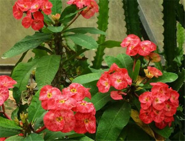 铁海棠的养殖方法和注意事项 铁海棠花适合放在室内吗