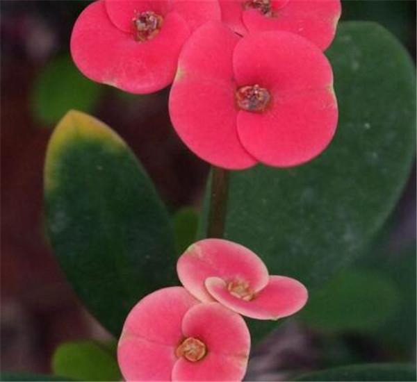 铁海棠夏季怎么养 铁海棠与虎刺梅的区别