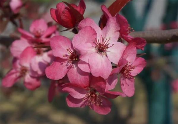 山海棠的功效与作用吃法 昆明山海棠和雷公藤区别
