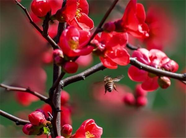 贴梗海棠的叶子掉光了怎么办 贴梗海棠移栽注意事项