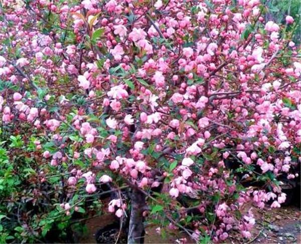 北美海棠盆栽怎么施肥 北美海棠的修剪方法