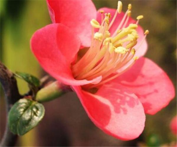 木瓜海棠的修剪时间和方法 木瓜海棠果的功效与作用