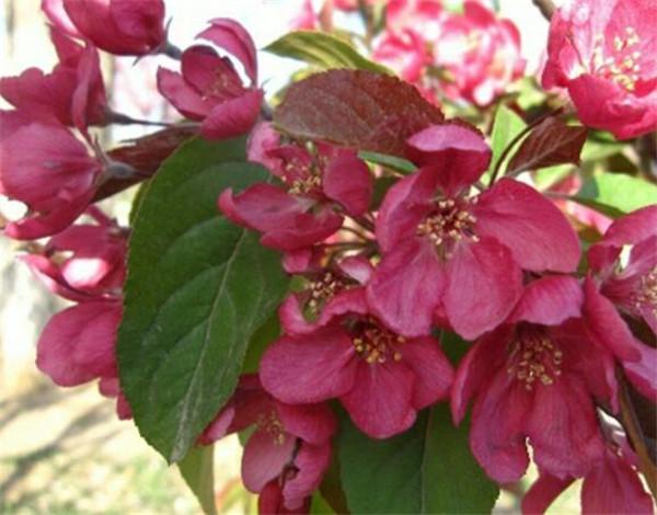 北美海棠有几种 北美海棠叶子枯萎怎么办