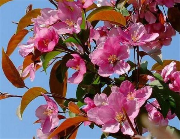 北美海棠和西府海棠有什么区别 北美海棠果的功效与作用