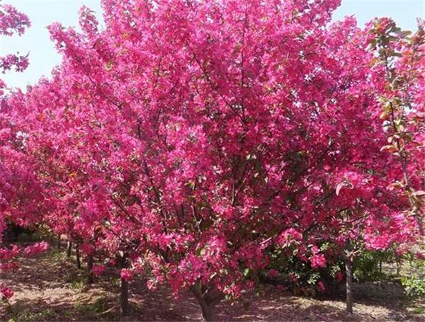 北美海棠果可以吃吗 北美海棠种植用什么土