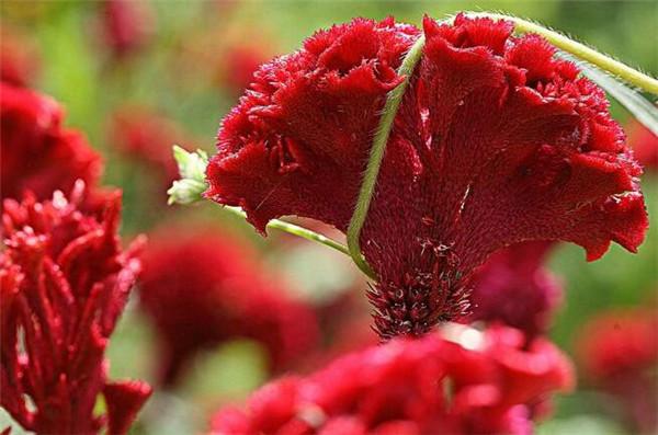 鸡冠花种子怎么采集 鸡冠花是多年生还是一年生