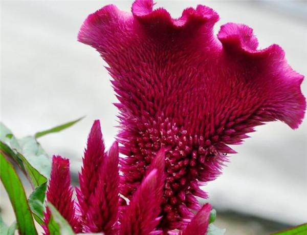 鸡冠花种植方法和时间 鸡冠花什么时候移栽最好