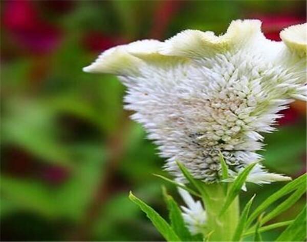白鸡冠花与红鸡冠花的区别 白鸡冠花怎么吃