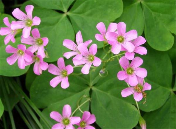 酢浆草花语永远不会放弃你 花期长耐寒又好养的花卉