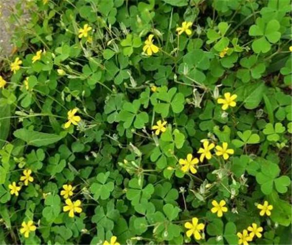 酢浆草科植物的主要特征 酢浆草可不可以生吃