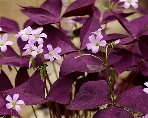 三角紫叶酢浆草有毒吗 紫叶酢浆草放在卧室有危害吗