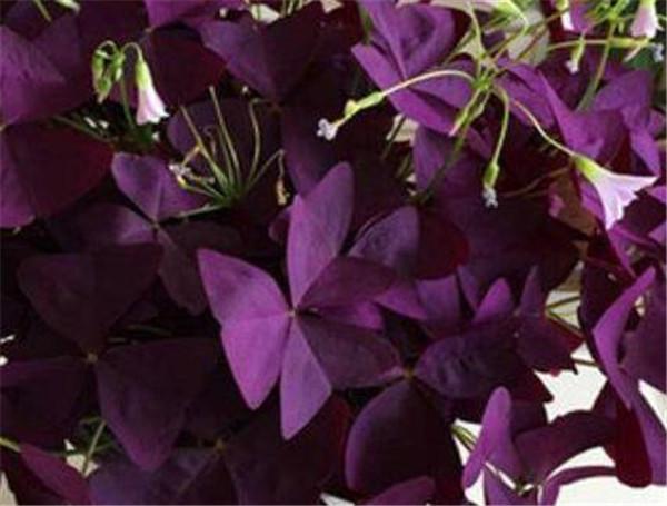 三角紫叶酢浆草怎么养 紫叶酢浆草怎么浇水