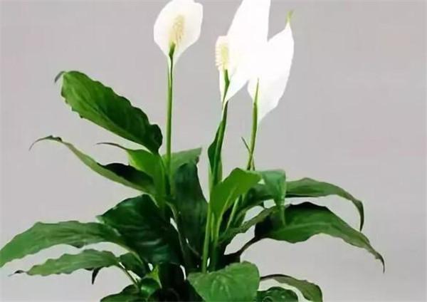 白掌的养殖方法 白掌叶子下垂变软怎么办