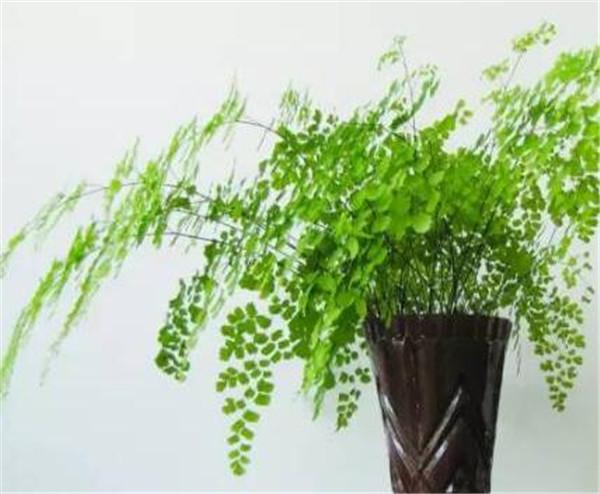 铁线蕨怎么繁殖 最耐阴的十大室内植物
