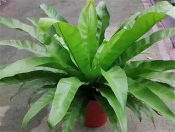 鸟巢蕨的养殖方法和注意事项 鸟巢蕨叶子发黄干枯怎么办