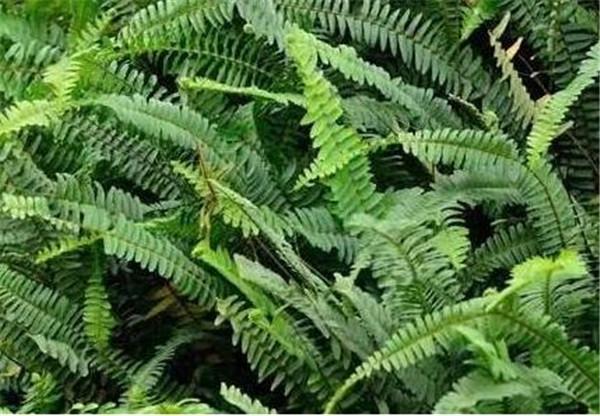 蕨类植物可以水培吗 蕨类植物生活环境