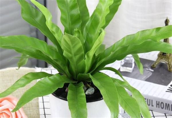 鸟巢蕨叶子边缘干枯怎么办 家中为什么不宜养蕨类植物