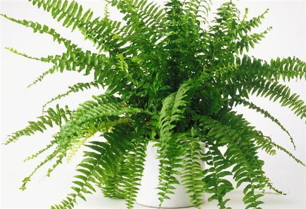 波斯顿蕨的养殖方法和注意事项 波斯顿蕨叶子发黄发干怎么办