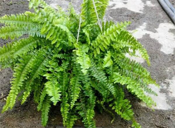 波斯顿蕨可以在室内吗 波斯顿蕨用什么土