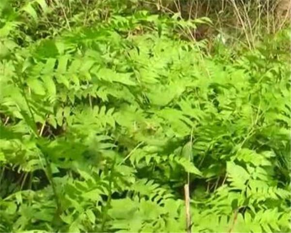 水蕨菜怎么做不苦 水蕨菜需要焯水吗