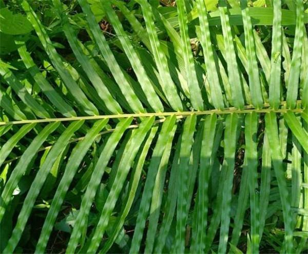 苏铁蕨的养殖方法 苏铁蕨对生态的作用