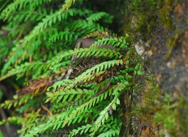 扇蕨分布在哪里 扇蕨是保护植物吗