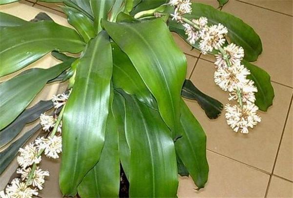 巴西木的养殖方法和注意事项 巴西木段可以生根吗
