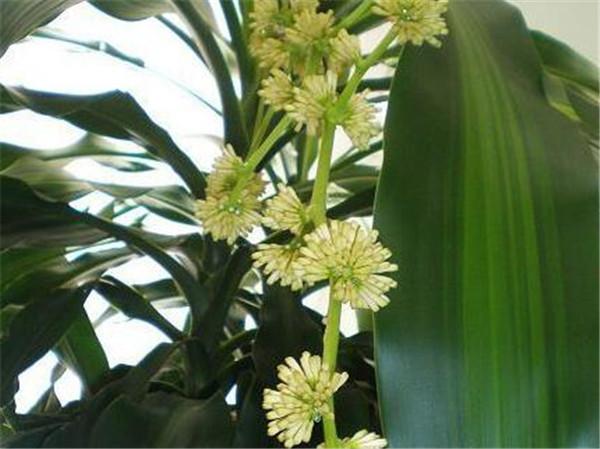 巴西木开花有毒吗图片 巴西木怎么养