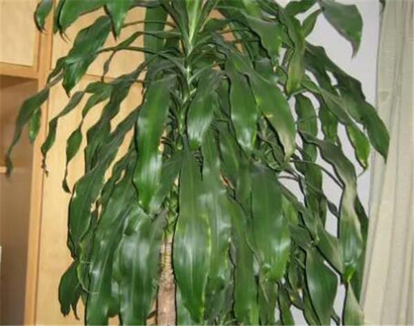 巴西木叶子发黄枯萎怎么办 巴西木水培怎么施肥