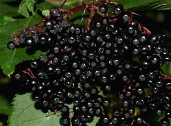 黑接骨木到底能不能吃 接骨木莓医生建议不吃
