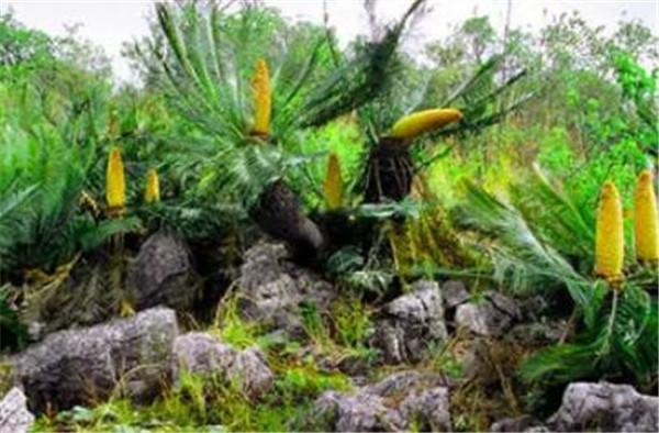 攀枝花苏铁生长条件 攀枝花苏铁面临的生存威胁