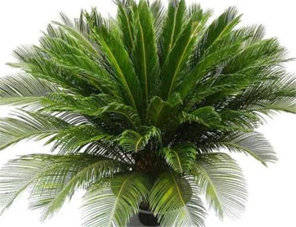 苏铁是什么植物 苏铁开花吗