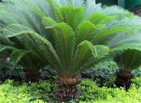 苏铁树叶子为什么会发黄 苏铁树的功效与作用