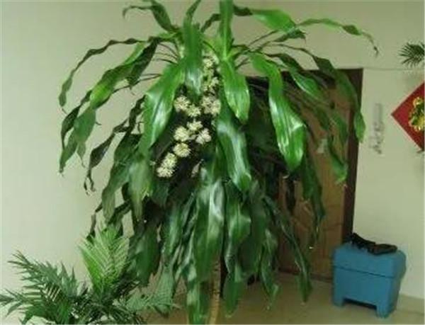 巴西铁树有几种 巴西铁树的养殖方法和注意事项