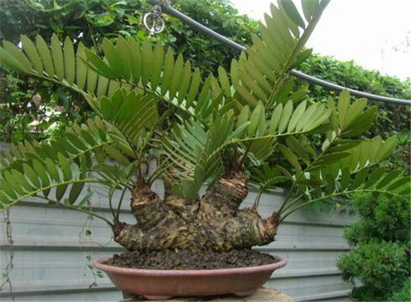 巴西铁树的寓意和风水作用 巴西铁树什么时候开花
