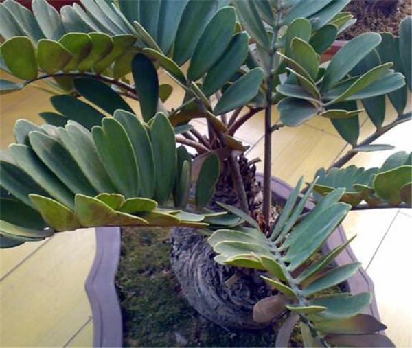巴西铁树叶子卷曲怎么办 巴西铁树的繁殖方法