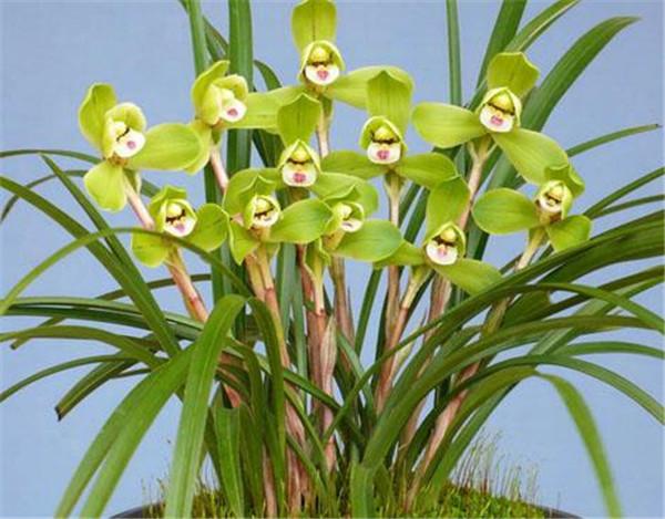 春兰花怎么养殖方法和注意事项 春兰花品种图片大全