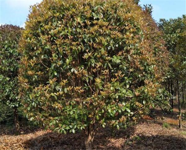速生金桂耐寒吗 速生金桂树的生长速度