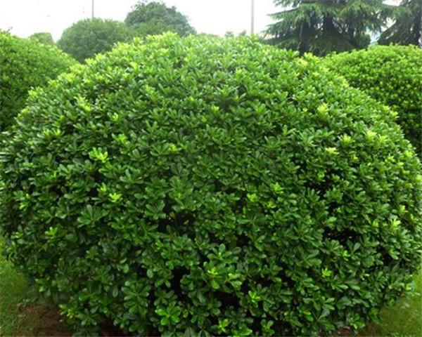 海桐怎么繁殖 盆栽海棠的养殖方法
