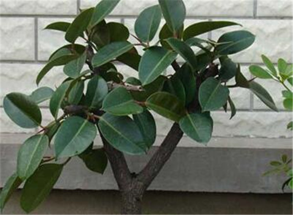 橡皮树的养殖方法和注意事项 橡皮树掉叶子怎么办
