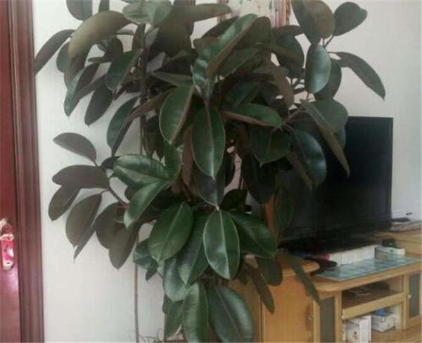 橡皮树有毒吗 橡皮树开花吗