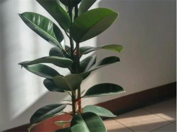 橡皮树的繁殖方法有哪些 橡皮树的作用